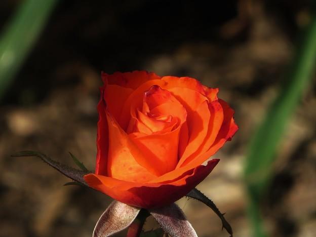 Photos: オレンジ色のバラ 2