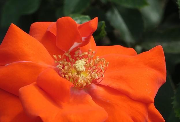 Photos: オレンジ色のバラ 3