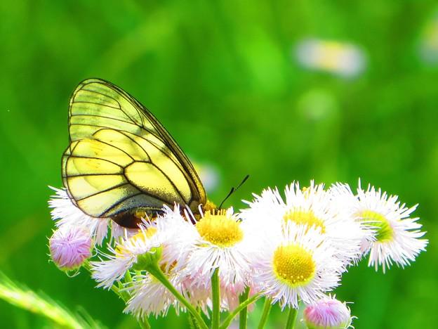 ハルジオンと蝶