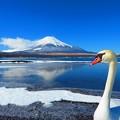 富士山(白鳥)