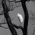 白鷺(モノクローム)
