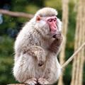 考える猿?