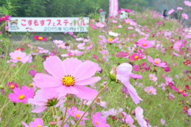 Photos: 武田川コスモスロード (2)