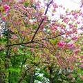 Photos: と或る八重桜 (2)