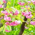 と或る八重桜