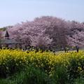 桜と菜の花の競演♪