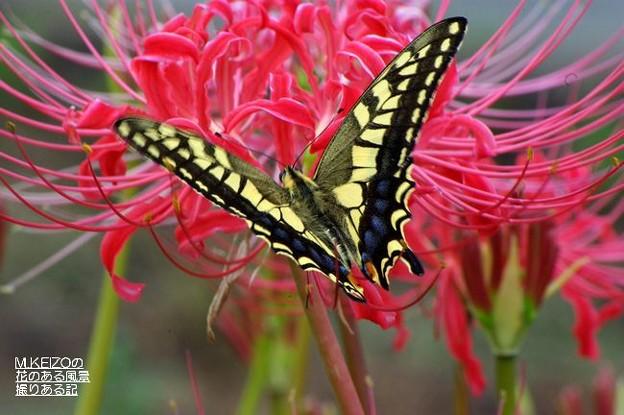 彼岸花とアゲハチョウ (5)