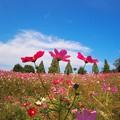 写真: 青空秋桜