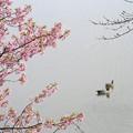 Photos: 春カモ
