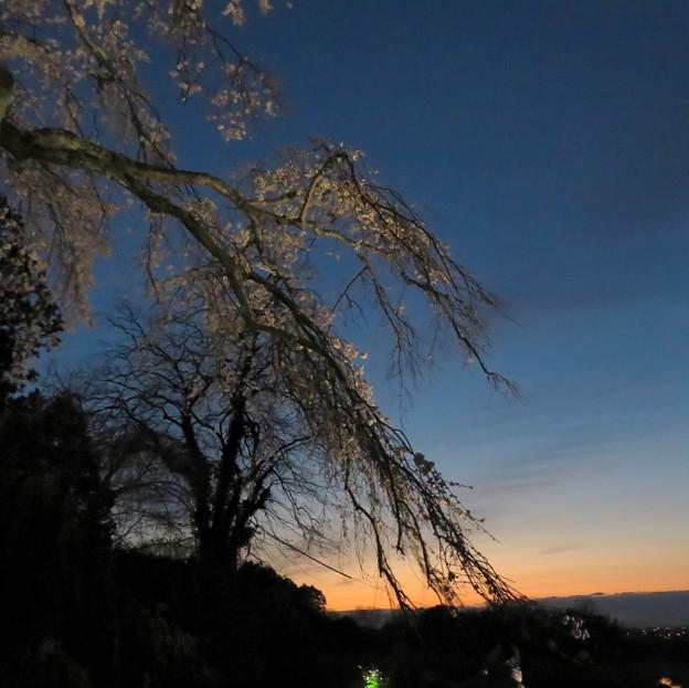 Photos: 夕暮れ桜二態-その2「夕桜」