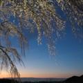 夕暮れ桜二態-その1「揺桜」