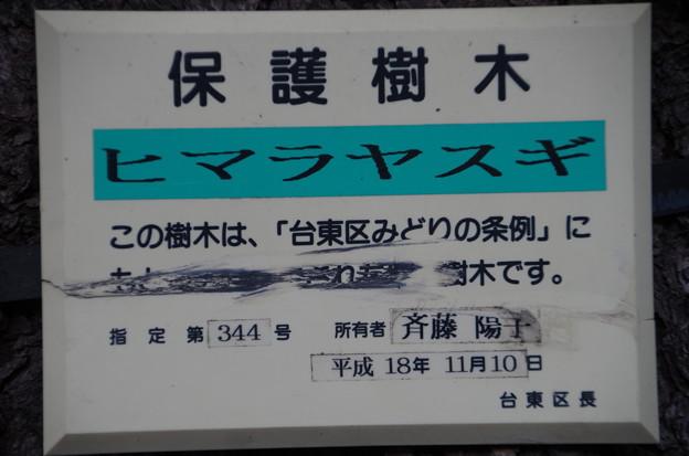 ヒマラヤスギ (2)