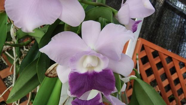 C.Mini Purple v. coerulea 'Blue Sky' BM/JOGA  (21)