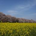 Photos: 権現堂の桜の咲く頃ーA