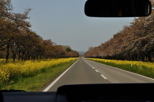 菜の花が咲く大潟村 25