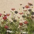 Photos: コスモスの花と影♪