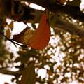 もうすぐ枯れ葉