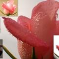pink薔薇