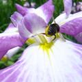 写真: 蜂とあやめ