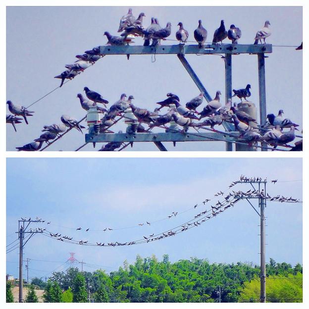 電線を占拠する沢山の鳩 - 1