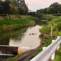 写真: 夕暮れ時、川面で群れるカモ