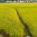 Photos: たわわに実る田んぼの稲 - 1
