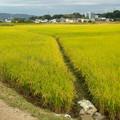 Photos: たわわに実る田んぼの稲 - 2