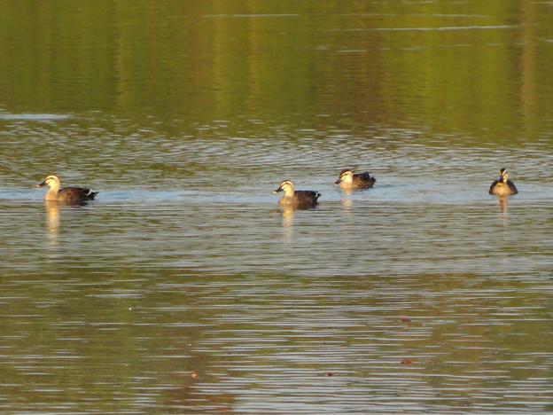 初秋の小幡緑地 No - 12:池にいたカモ