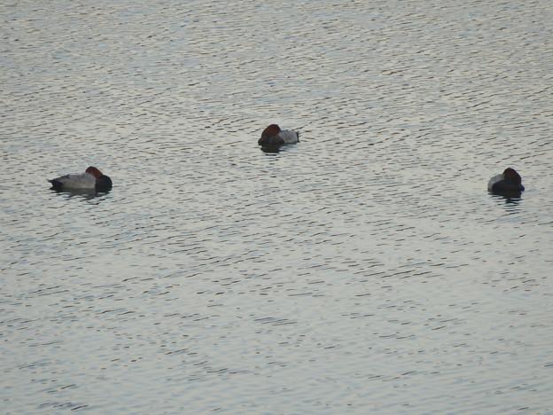 初秋の小幡緑地 No - 24:池の上で眠るカモ