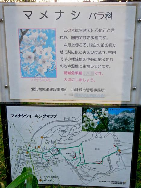初秋の小幡緑地 No - 36:絶滅危惧種である「マメナシ」の群生地(説明)