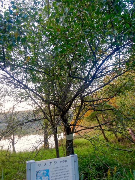 初秋の小幡緑地 No - 37:絶滅危惧種である「マメナシ」の群生地