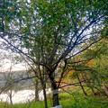 Photos: 初秋の小幡緑地 No - 37:絶滅危惧種である「マメナシ」の群生地