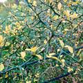 Photos: 初秋の小幡緑地 No - 40:固くて鋭い棘(とげ)が沢山生えてる植物