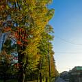 Photos: 紅葉が進んでいた、八田川(ふれあい緑道)沿いの並木 - 1