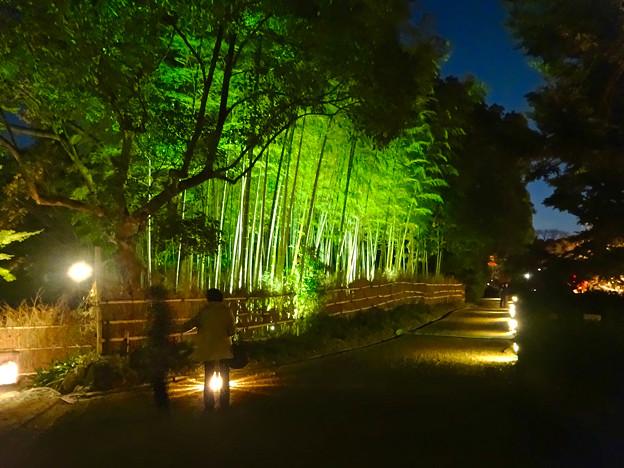 写真: 白鳥庭園「紅葉ライトアップ 2015」No - 78:ライトアップされた竹林