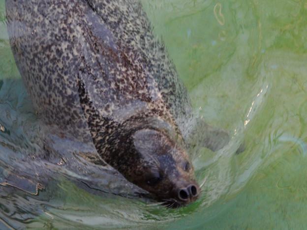 東山動植物園:水から顔を出した、ゴマフアザラシ - 1