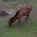 写真: 名古屋城天守閣 お堀の鹿 - 9