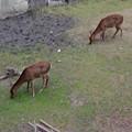 写真: 名古屋城天守閣 お堀の鹿 - 10