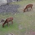 写真: 名古屋城天守閣 お堀の鹿 - 11