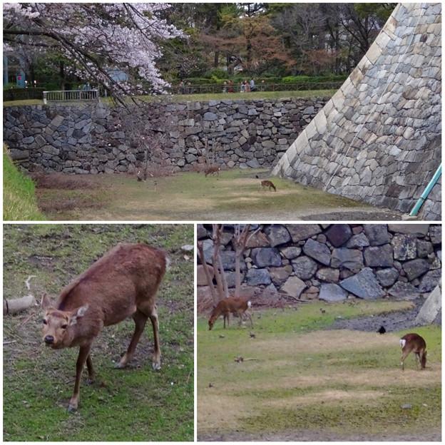 名古屋城天守閣 お堀の鹿 - 13:桜の下で草を食む2匹の鹿