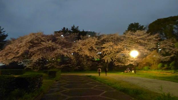 夜の愛知県体育館周辺の桜(2016年4月2日) - 11