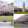 写真: 満開を過ぎ、散り始めた、落合公園の桜(2016年4月8日) - 32