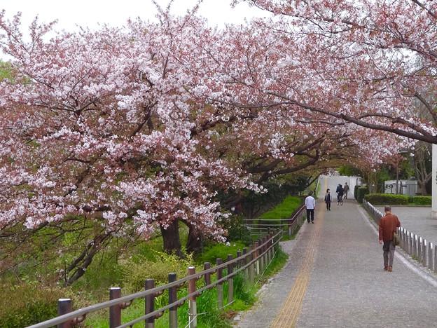 山崎川の桜並木(2016年4月10日) - 13