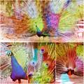 写真: 東山動植物園:艶やかな羽を広げる、オスのインドクジャク - 27(フィルター)