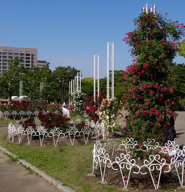 鶴舞公園:満開だったバラ園のバラ(2016年5月15日) - 33