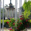 鶴舞公園:満開だったバラ園のバラ(2016年5月15日) - 52(バラ越しに見た噴水)