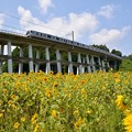 Photos: ヒマワリ列車