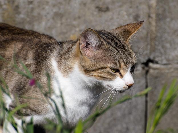 村猫 -キジシロ-