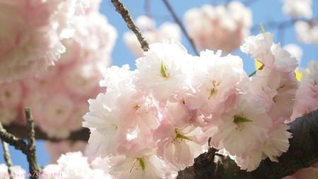八重桜 一葉