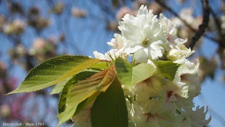 八重桜 ウコン桜